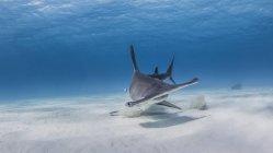 Great Hammerhead Shark swimming under water — Stock Photo