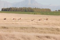 Springboks executando no Safari vida selvagem, Stellenbosch, África do Sul — Fotografia de Stock