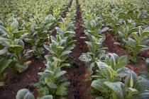 Cultivo de plantas verdes en el campo agrícola - foto de stock