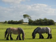 View of Two horses grazing in field — Stock Photo