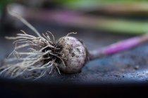 Gros plan de fraîchement cueilli bulbe d'ail sale — Photo de stock