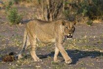 Фронтальний вид левиця прогулянки з дерев на тлі, Ботсвани — стокове фото