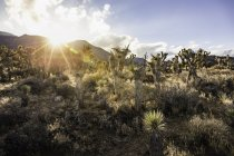 Field with sunlit cacti plants and cloudy blue sky — Stock Photo