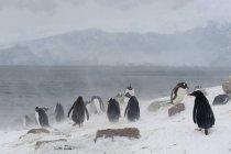 Gentoo penguins walking on snow near antarctic ocean, antarctica — Stock Photo