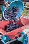 Frau, Gießen Eimer mit Trauben in Abbeermaschine, Quartucciu, Sardinien, Italien — Stockfoto