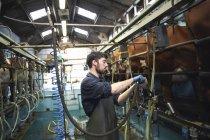 Farmer milking cows in dairy farm, using milking machines — Stock Photo