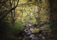 Олени в лесах пьют из ручья, Уэст-Мидлендс, Великобритания — стоковое фото