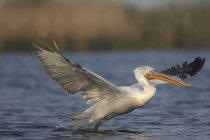 Пелікан кучерявий зліт на світанку — стокове фото