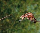 Caméléon manger sur arbre — Photo de stock