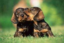 Два щенка в поле — стоковое фото