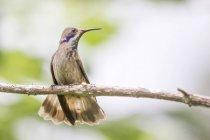 Espumoso violetear perchado en la rama, Minca, Magdalena, Colombia - foto de stock
