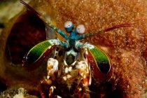 Close-up view of mantis shrimp — Stock Photo