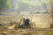 Lions or Panthera leo attacking buffalo in wildlife, Mana Pools National Park, Zimbabwe — Stock Photo