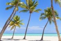 Пизанская пальмы на пляже, Доминиканская Республика, в Карибском бассейне — стоковое фото