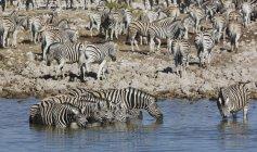 Стадо зебр, пить в водопоя в солнечном свете — стоковое фото