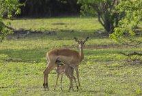 Дорослі жінки олень годування палевий луг, зелену — стокове фото