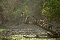 Baboons or Papio cynocephalus ursinus, Mana Pools National Park, Zimbabwe — Stock Photo