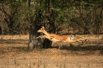 Impala running through forest — Stock Photo