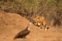Leone stalking uccello — Foto stock