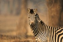 Burchell Zebra at Mana Pools National Park, Zimbabwe, Africa — Stock Photo