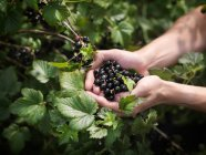Cropped image of woman Holding Harvested Blackcurrants — Stock Photo