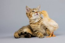 Mignon chaton et poussin jouant ensemble — Photo de stock