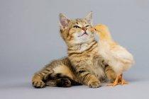Gattino e pulcino che giocano insieme — Foto stock