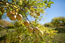 Pommes mûres sur une branche d'arbre au soleil — Photo de stock