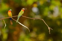 Two white-fronted bee-eaters — Stock Photo