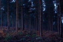Rurale foresta al crepuscolo di sera, surrey, Regno Unito — Foto stock