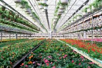 Industrial greenhouse with growing flowers — Stock Photo