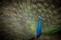 Самец павлина с развевающимися перьями — стоковое фото