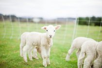 Cute lambs on green meadow grass — Stock Photo