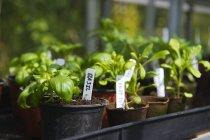 Chiuda in su della Homegrown basilico in vaso — Foto stock