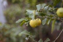Che cresce sul ramo di un albero di limoni maturi — Foto stock