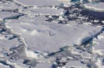 Пінгвін Аделі на острів пінгвінів — стокове фото