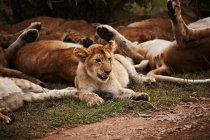 Cachorro de león con orgullo - foto de stock