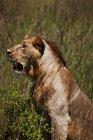 Leone seduto sul campo — Foto stock
