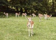 Gruppe von Hirschen, die auf der Wiese weiden, aarhus, Dänemark — Stockfoto