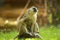 Дві милі мавпи Vervet на камінь в Замбії — стокове фото