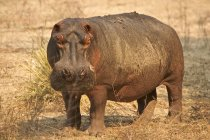 Hippopotamus walking at Mana Pools National Park, Zimbabwe, Africa — Stock Photo