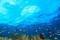 Pesci che nuotano nella barriera corallina, vista subacquea — Foto stock