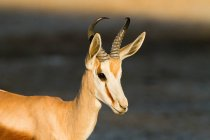 Close up shot of springbok in bright sunlight — Stock Photo