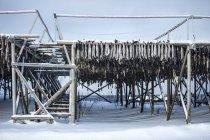 Essiccazione del merluzzo — Foto stock