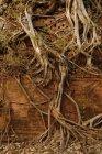 Raíces de árboles y ruina de piedra - foto de stock