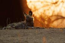 Messo criticamente licaone o Lycaon pictus nel Parco nazionale di mana pools — Foto stock