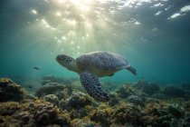 Turtle swimming at coral reef under water — Stock Photo
