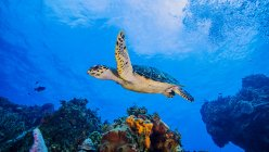 Turtle swimming over coral reef under water — Stock Photo