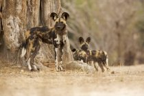 Les chiens sauvages ou les Lycaon pictus au Parc National de Mana Pools, Zimbabwe — Photo de stock