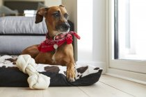 Dog in dog bed with bone looking away — Stock Photo